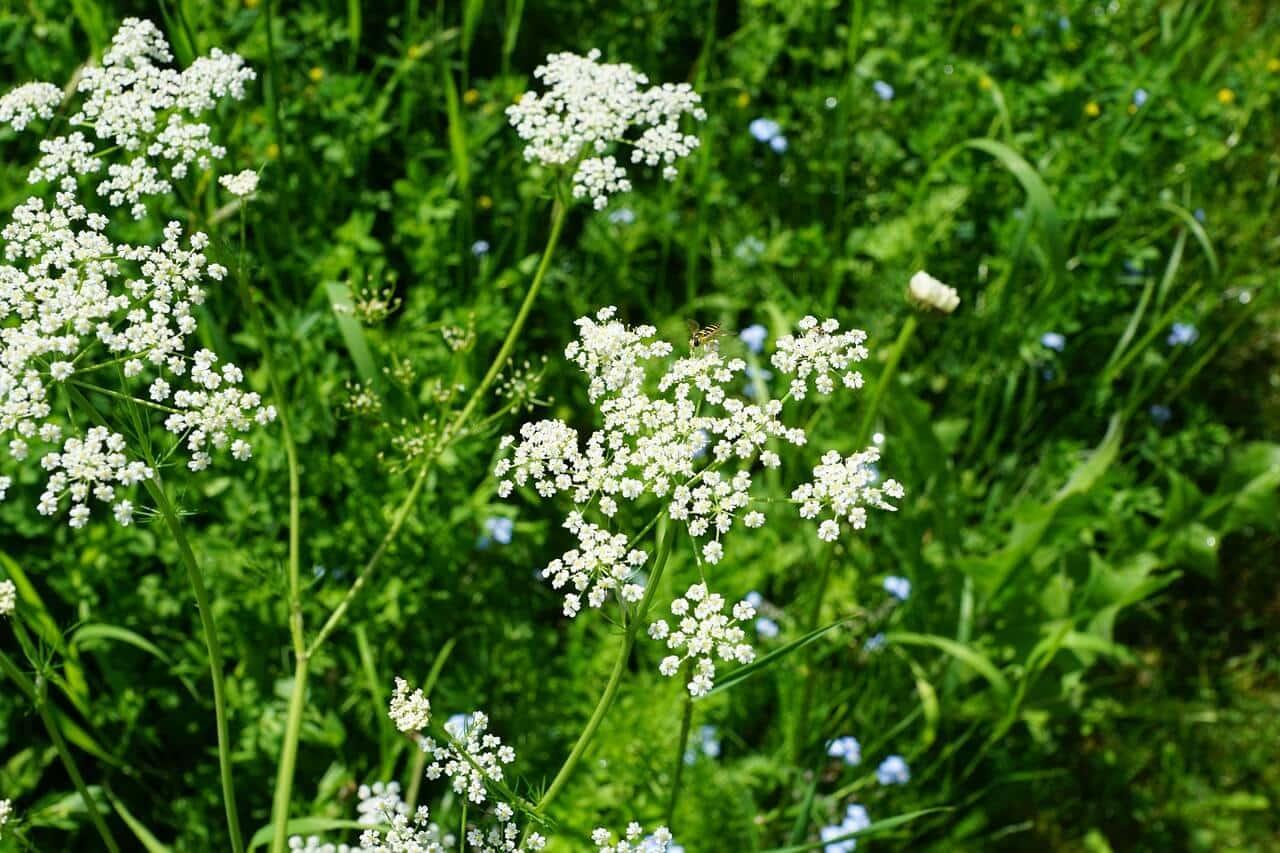 Bibernelle als Heilpflanze