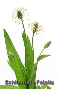 Spitzwegerich als Heilpflanze – Wirkung und Inhaltsstoffe