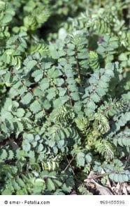 Bibernelle als Heilpflanze – Inhaltsstoffe und Wirkung