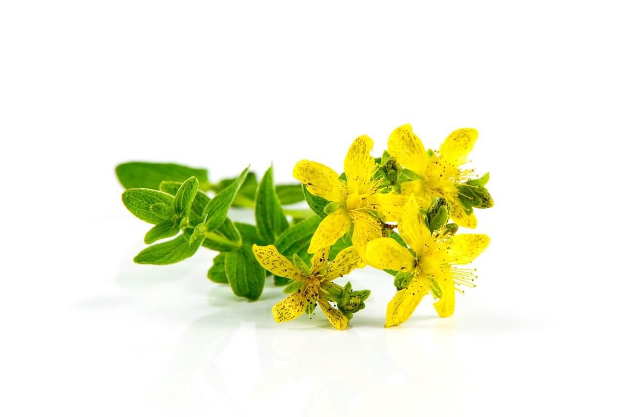 Johanniskraut als Heilpflanze