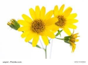 Arnika als Heilpflanze – Inhaltsstoffe und Wirkung