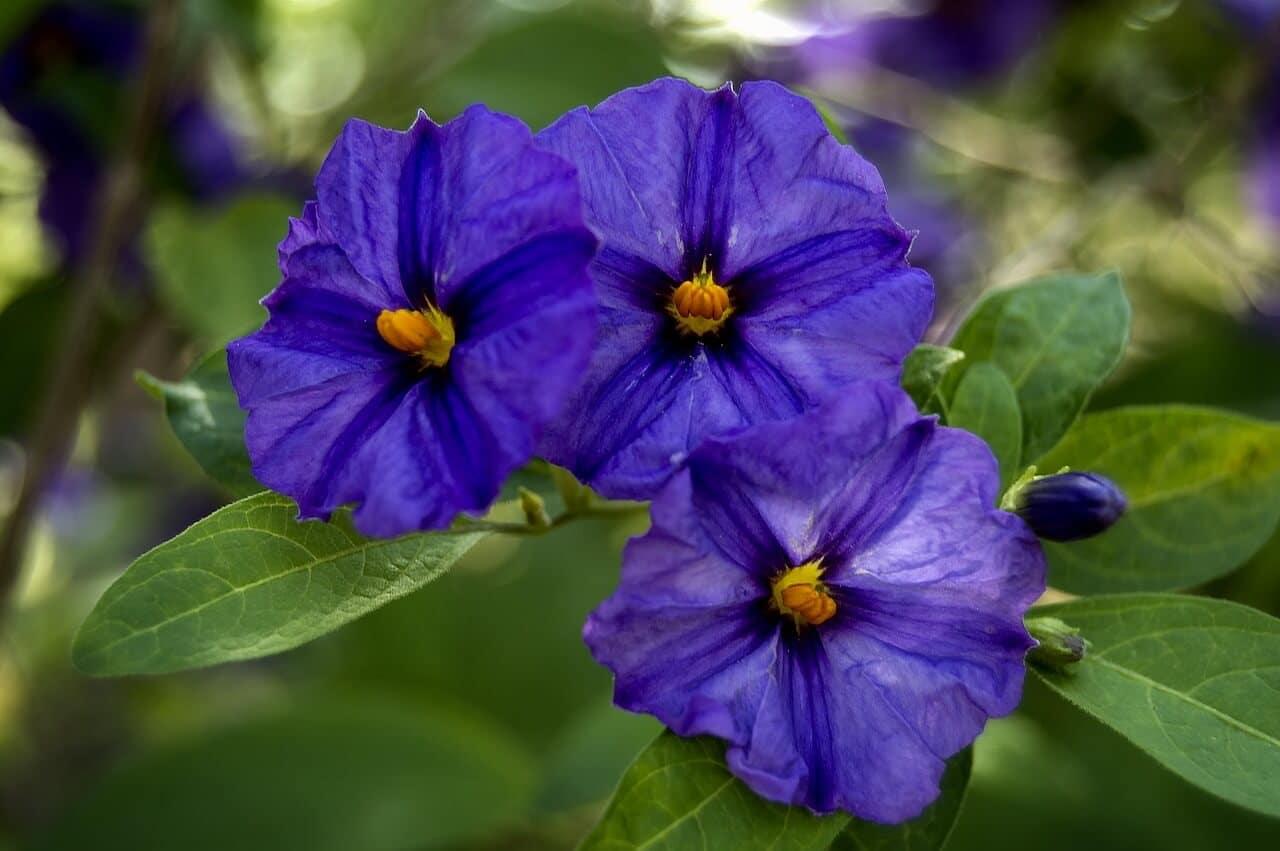 Enzian als Heilpflanze